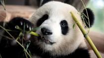 Panda di Jerman Berjalan Mundur, Bisakah Seks Jadi Obatnya?