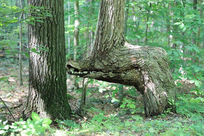 Pohonnya menyerupai kepala buaya. (Foto: Boredpanda)