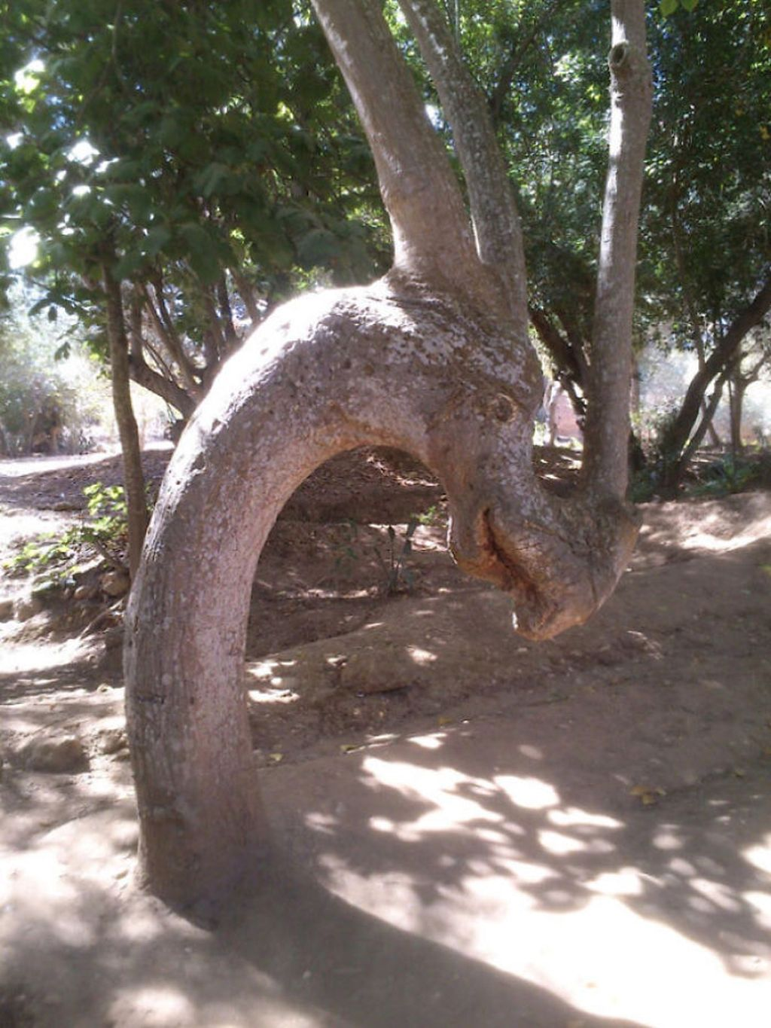 Ada pohon berwujud kepala naga. (foto: Boredpanda)