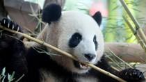 Panda di Jerman Mendadak Jalan Mundur, Kok Bisa?