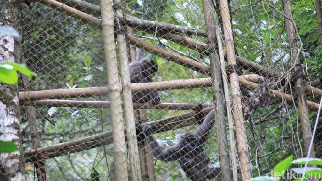 Gunung Puntang Jadi Habitat Nyaman Buat Owa Jawa