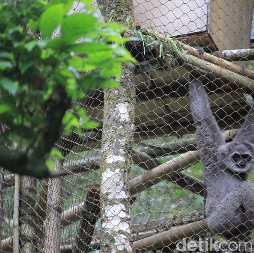 5 Ekor Owa Jawa Dilepasliarkan di Hutan Lindung Gunung Puntang