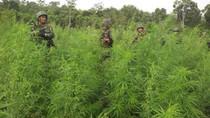 Serda Sigit, TNI Penyulap 98 Hektare Ladang Ganja Jadi Sawah