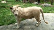 Kenalan Lebih Dekat dengan Singa Putih Asli Afrika