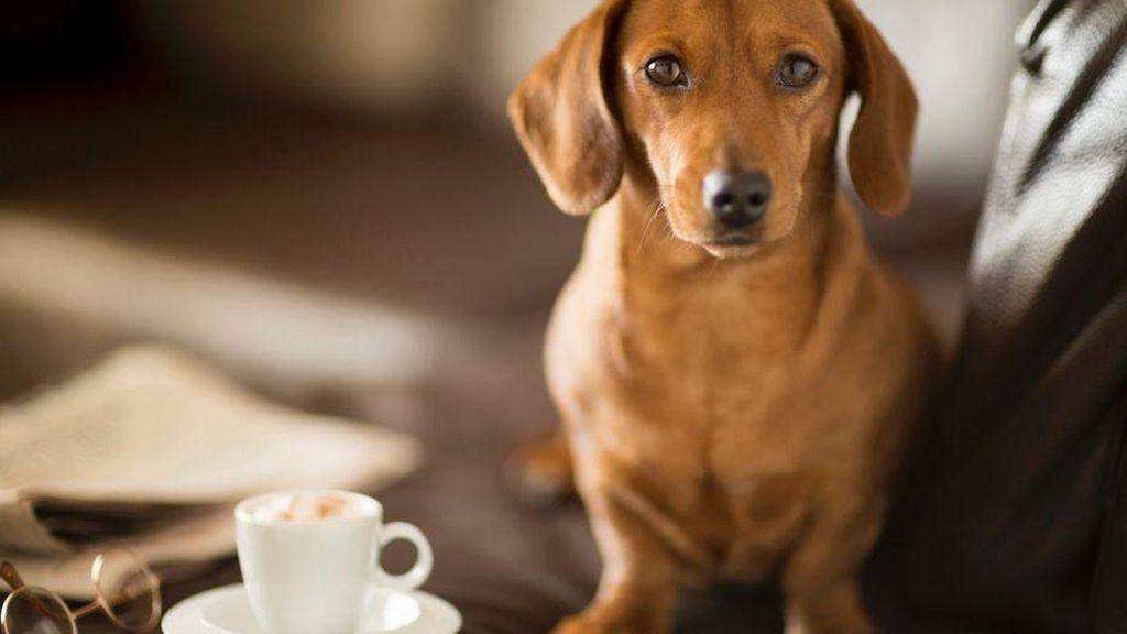 Anjing Kini Bisa Minum Kopi yang Diracik Khusus dengan Herba