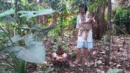 Dikira Bau Bangkai, Bunga Suweg Muncul di Banjarnegara