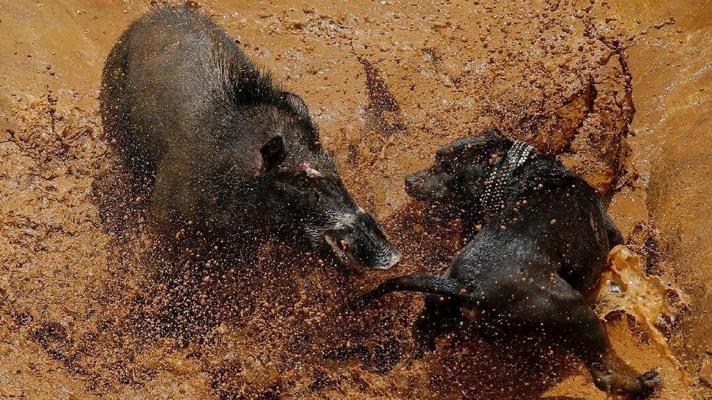 Antara Budaya dan Kontroversi: Tarung Anjing Vs Babi Hutan di Bandung