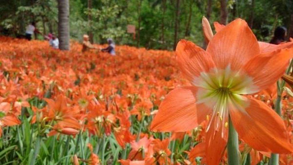 Weekend Ini Main Saja Ke Taman Bunga Amarilis