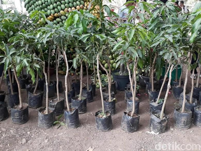 Produksi Mangga di Indonesia Siap Salip Thailand