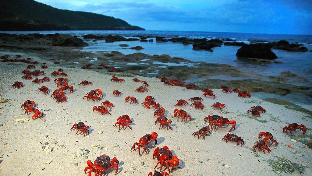 Geli atau Ngeri? Pulau dengan Ribuan Kepiting di Australia