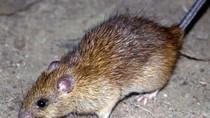 Akibat Konstruksi Terowongan, Tikus Bermunculan di Pusat Melbourne