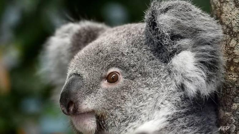 Seekor Koala Australia Ditemukan Mati dengan Telinga Dimutilasi