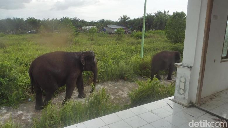 Nyasar ke Permukiman di Dumai, Gajah Ini Diberi Makan Penduduk