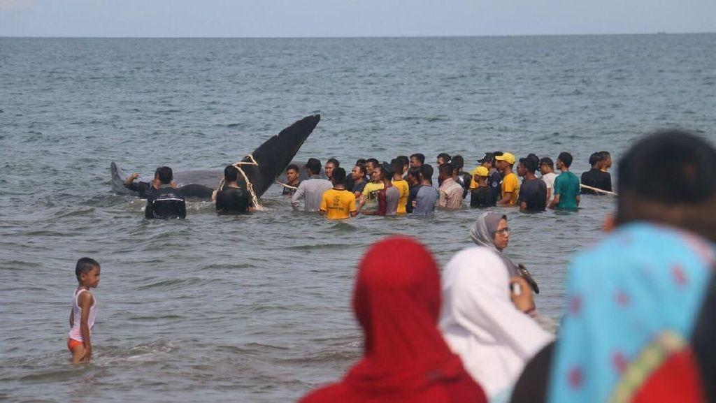 Foto: Warga Ramai-ramai Selamatkan 10 Ekor Ikan Paus yang Terdampar