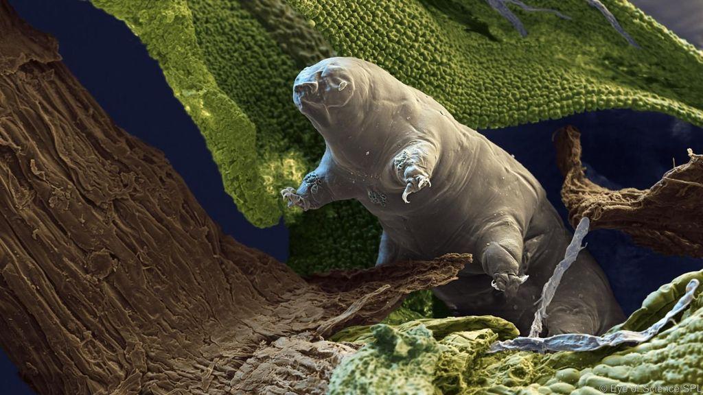 Makhluk mikroskopis ini dinamai Tardigrade.Iamemiliki delapan kaki yang hanya berukuran panjang 5 milimeter, dapat bertahan hingga temperatur 150 derajat Celsius. Ia bisa ditemukan di gunung berapi, hutan rimba sampai Antartika.(Foto: Eye of Science/SPL)