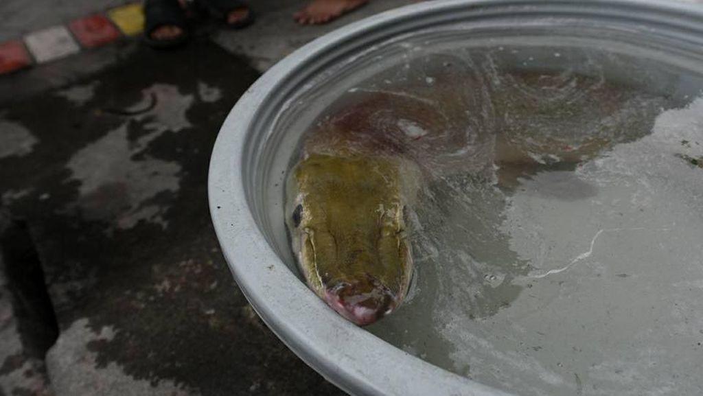 Ikan Monster Ditemukan di Surabaya, Disimpan di Ember