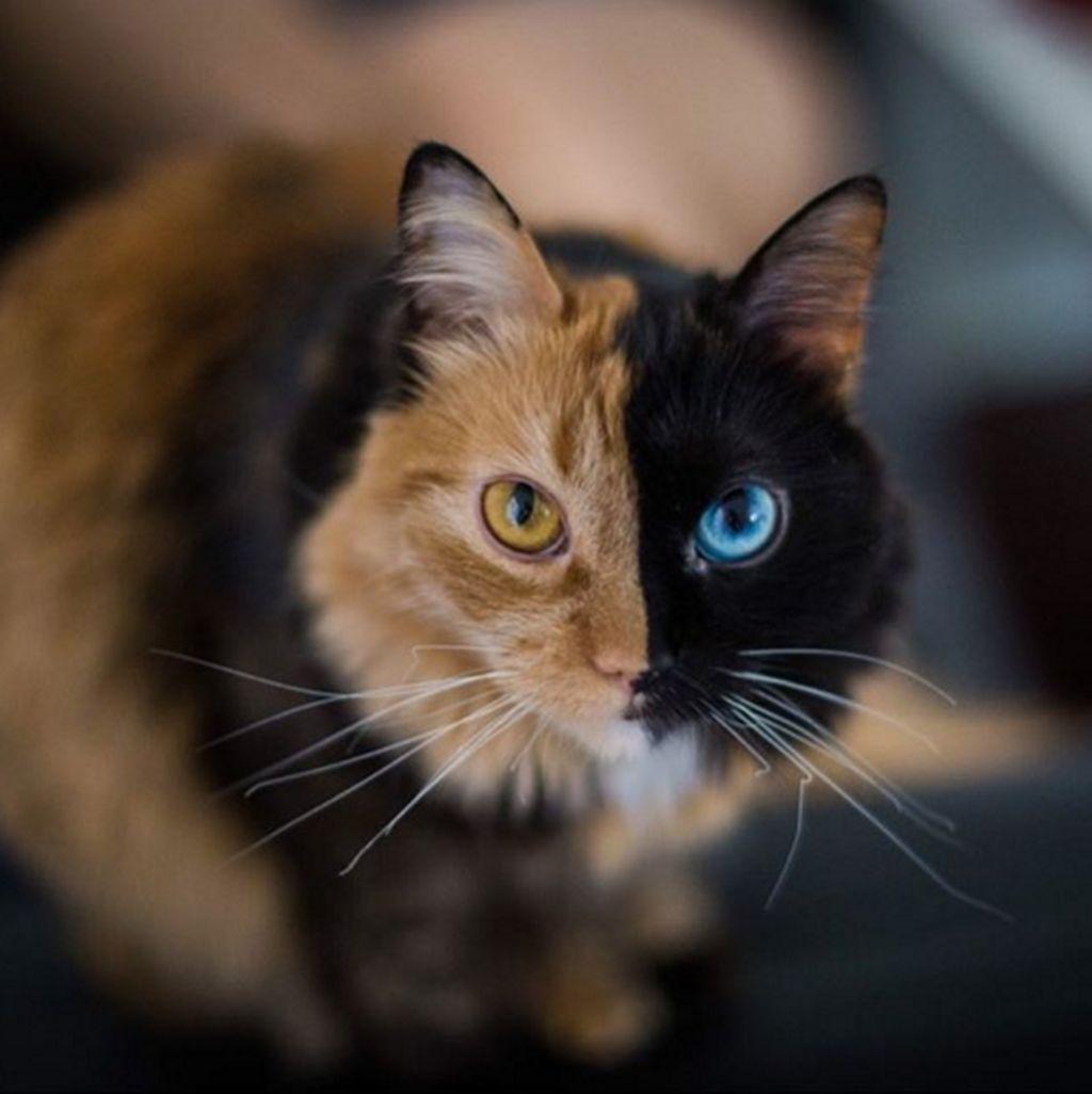 Kucing bernama Quimera ini memiliki warna bulu berbeda di wajah, bahkan di kedua matanya. Jenis kucing seperti ini dinamakan Chimera(Foto: Instagram/gataquimera)