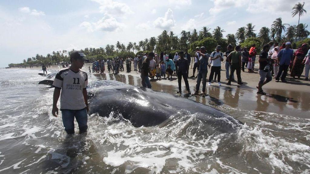 Analisa Ahli Soal Sebab Paus dan Lumba-lumba Terdampar di Pantai