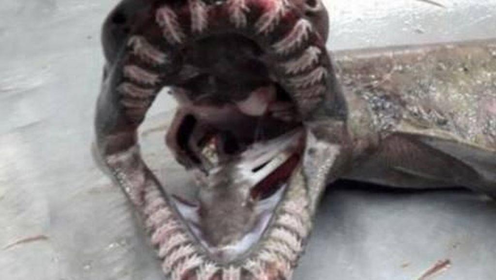 Hiu 'Zaman Old' dengan 300 Gigi Ditemukan di Pantai Portugal