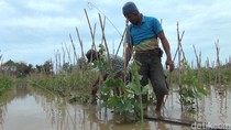 2 Hari Tergenang, Petani Melon di Banyuwangi Terancam Gagal Panen