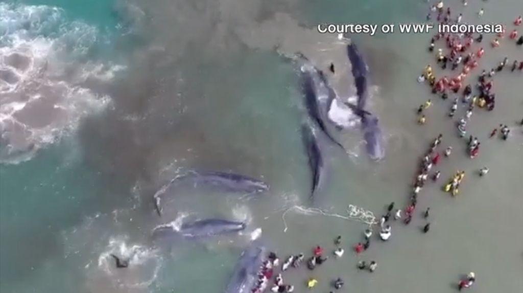 Melihat Terdamparnya 10 Ikan Paus di Aceh dari Langit