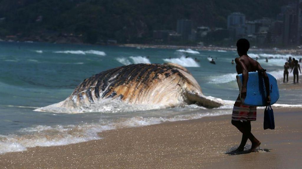 Foto: Penampakan Paus Raksasa yang Mati di Pantai Brasil