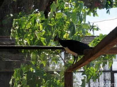 Kisah Kesetiaan Burung Maleo, Berdua Sehidup Semati