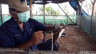 Cegah Flu Burung, Ratusan Ribu Unggas di Brebes Divaksinasi