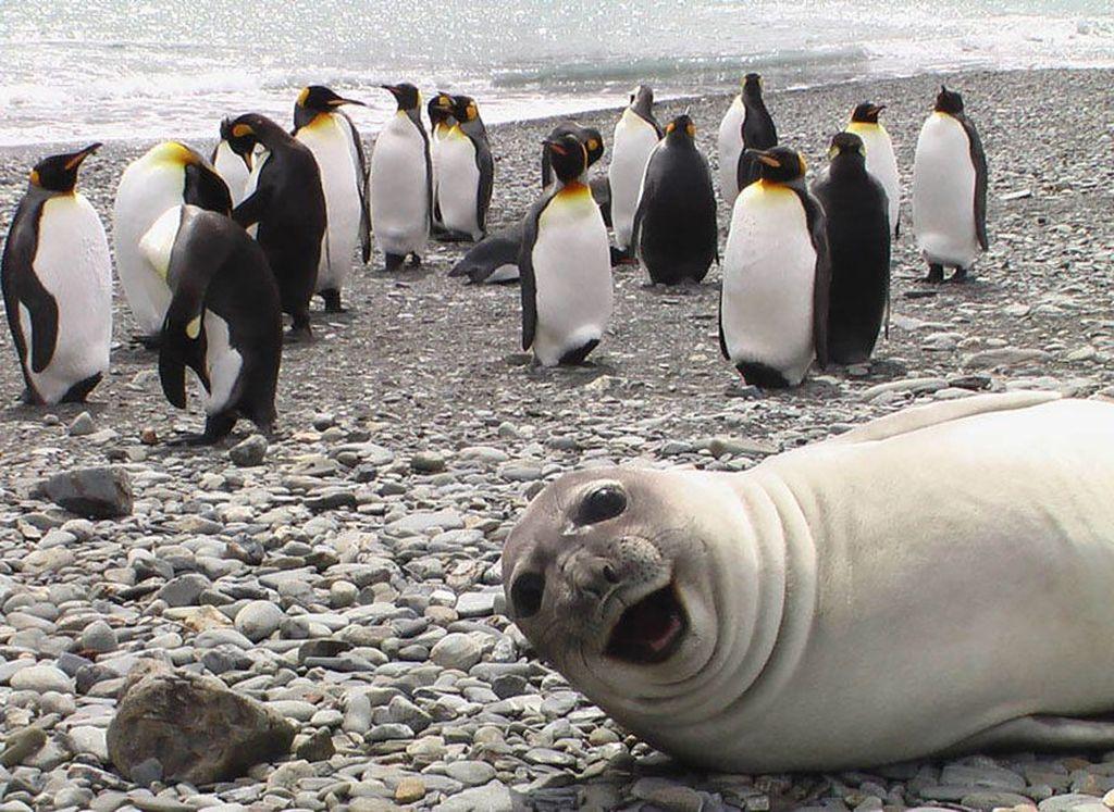 Seekor anjing laut seperti tertawa dengan para penguin di belakangnya. Foto: istimewa