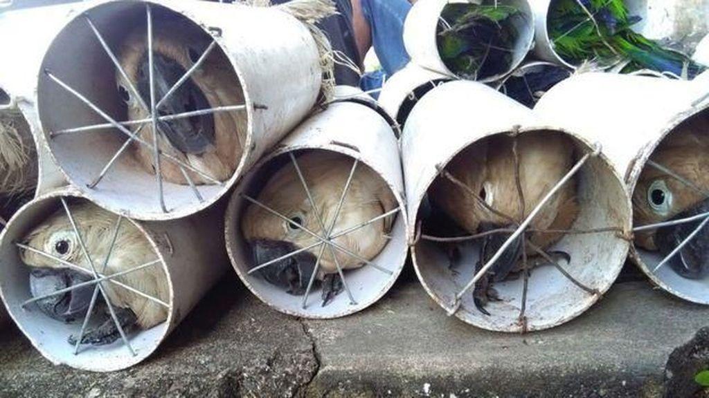 Polisi Tahan 4 Penyelundup Burung yang Disekap di Pipa Paralon