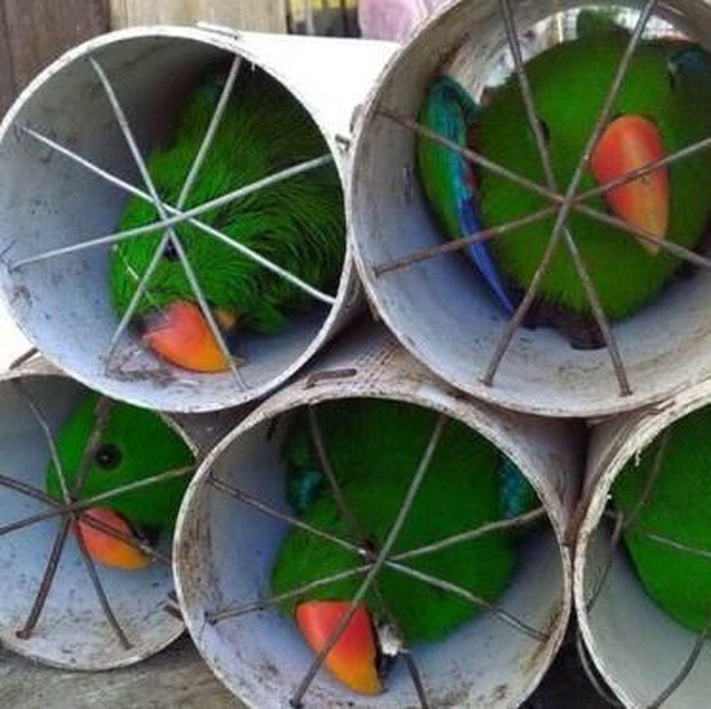 Kasihan, 6 Burung Kakatua dan Nuri yang Disekap di Paralon Mati