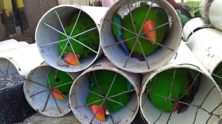 Komisi IV DPR Minta Penyekap - Jakarta Empat orang penyelundup burung kakatua dan nuri bayan di Maluku Utara diminta tak hanya dihukum pidana tapi