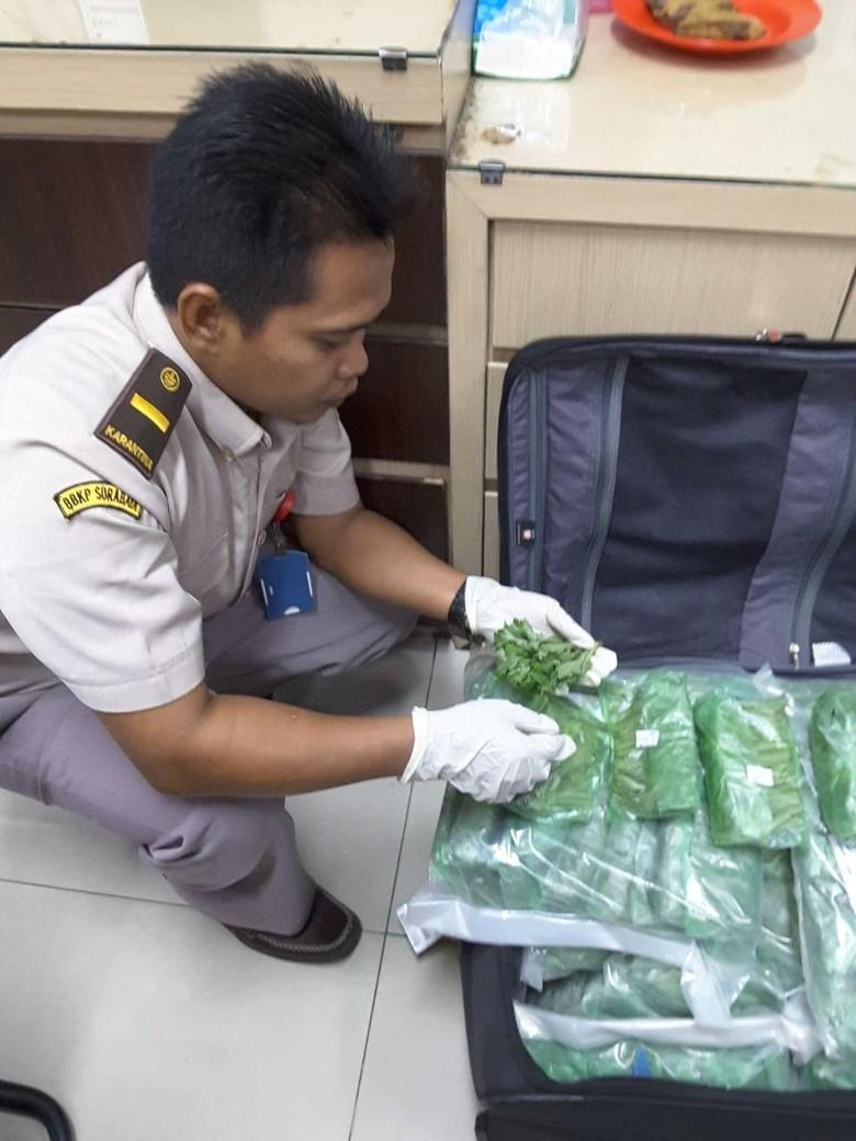 Masuknya Ribuan Batang Bibit Krisan - Petugas mengamankan belasan ribu bibit krisan yang dikemas dalam plastik Karantina Surabaya menggagalkan masuknya ribu batang bibit bunga