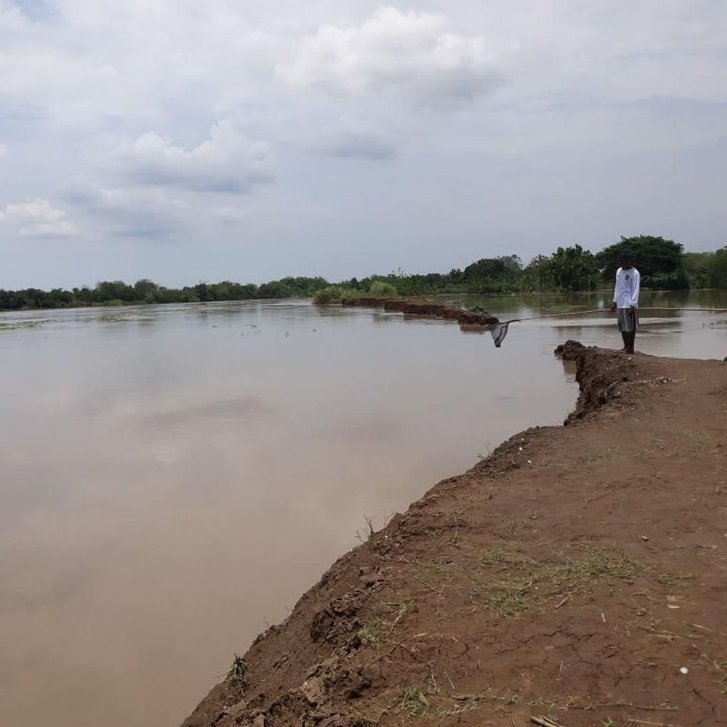 Tanggul Wedok Jebol, Puluhan Hektar Sawah di Lamongan Terendam