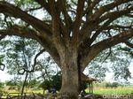 Ada Pohon Seperti Tree of Souls dalam Film Avatar di Rembang