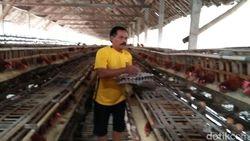 Harga Telur Stabil, Ini Kata Peternak Ayam di Blitar