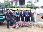 Tetua Adat Kumpul di Prosesi Potong Kerbau untuk Kahiyang-Bobby
