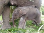 Kabar Gembira, 2 Anak Gajah Lahir di Taman Nasional Tesso Nilo Riau