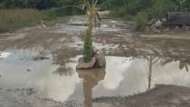Jalanan di Ibu Kota Kaltara Rusak, Warga Tanam Pohon Pisang