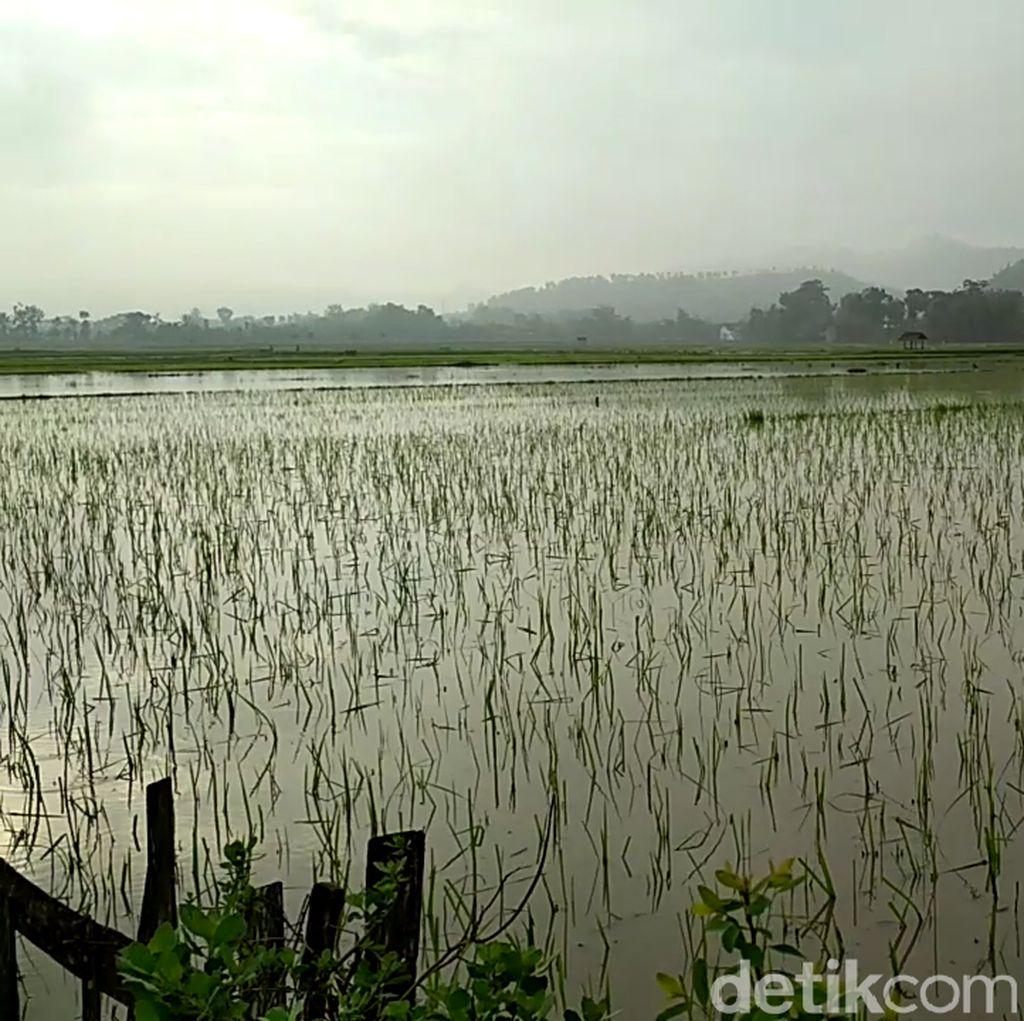 Musim    Hujan, Sawah di Bantul Hingga Pacitan Terendam Banjir