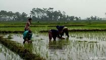 Lebih 25 Hektare Sawah di Blitar Belum Tercover Asuransi