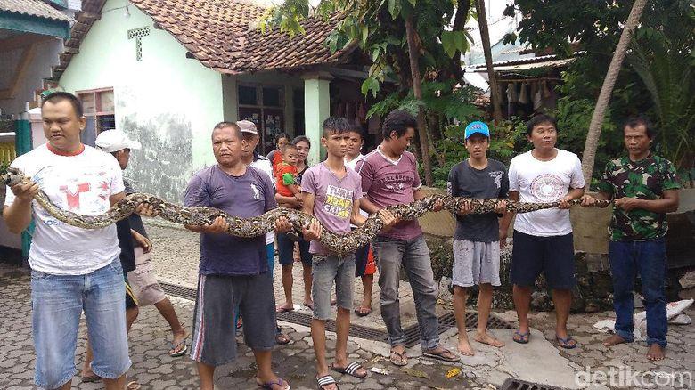 Kisah Rizki yang Selamat dari Lilitan Ular Sanca 4 Meter di Cirebon