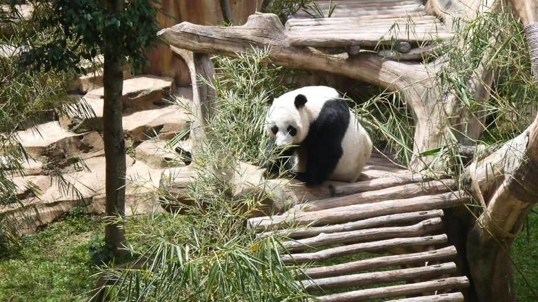 Senangnya Wakil PM China ke - Bogor Wakil Perdana Menteri Liu Yandong mengunjungi Taman Safari Indonesia Dalam Liu menyebut Giant Panda adalah duta Ia