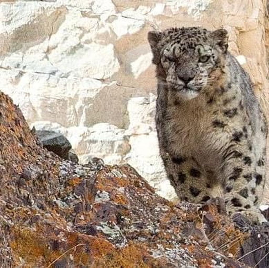 Keren! Potret Kamuflase Macan Tutul Salju di Habitatnya