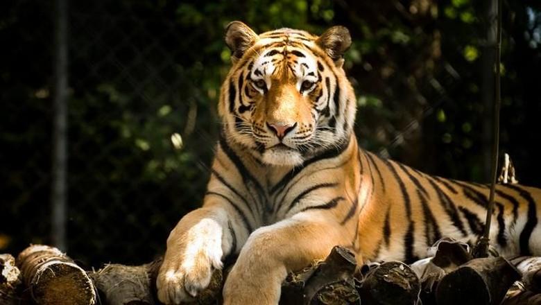 Foto: Ilustrasi harimau (iStock)