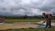 Cerita Petani di Kaki Gunung Agung yang Tetap Jemur Padi