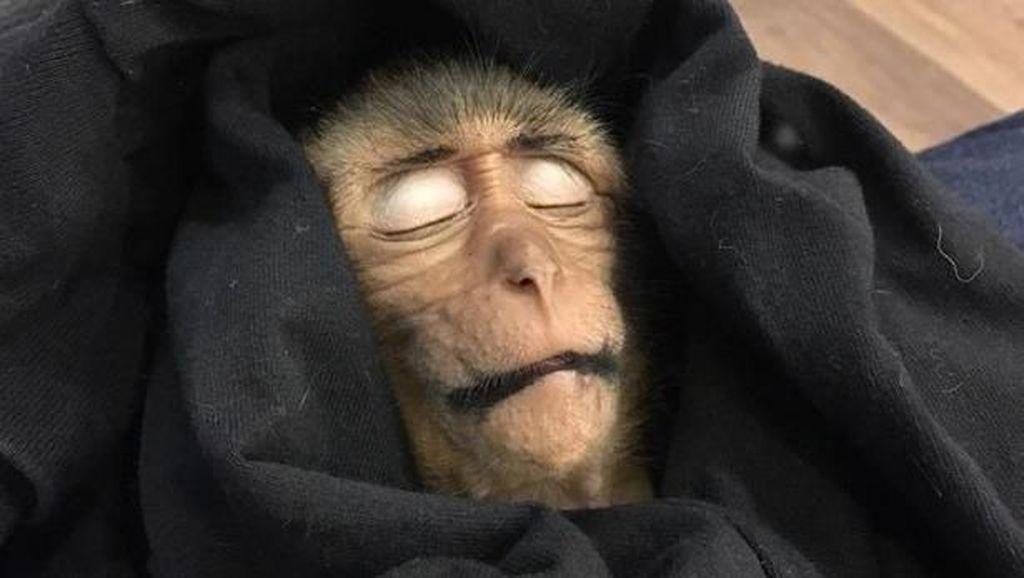 Kasihan, Bayi Monyet di Thailand Mati Gara-gara Overdosis Kafein