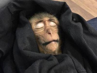 Kasihan, Bayi Monyet di Thailand Mati Gara-   gara Overdosis Kafein