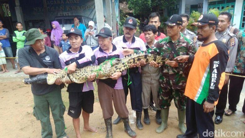 Foto: Penangkapan Buaya di Sleman, Kakinya Diikat ke Belakang