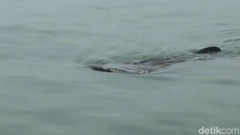 Yuks, Lihat Penampakan Hiu Tutul di Perairan Probolinggo
